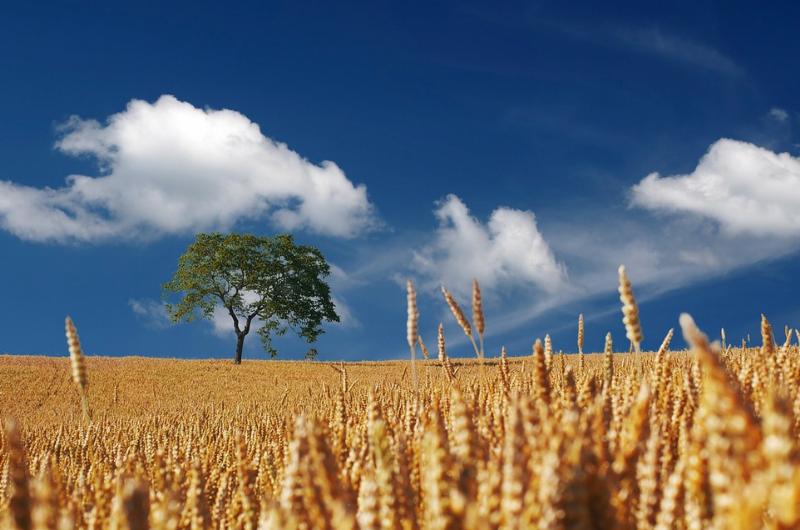雲の浮かぶ青空と広々と広がる麦畑の写真