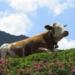 反芻思考のイメージ画像、のんびり反芻する牛